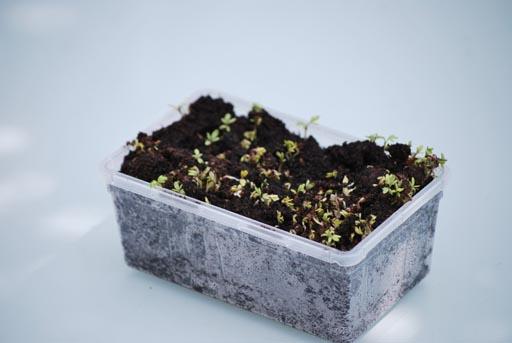 Kweken van tuinkers