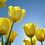 gele_tulpen